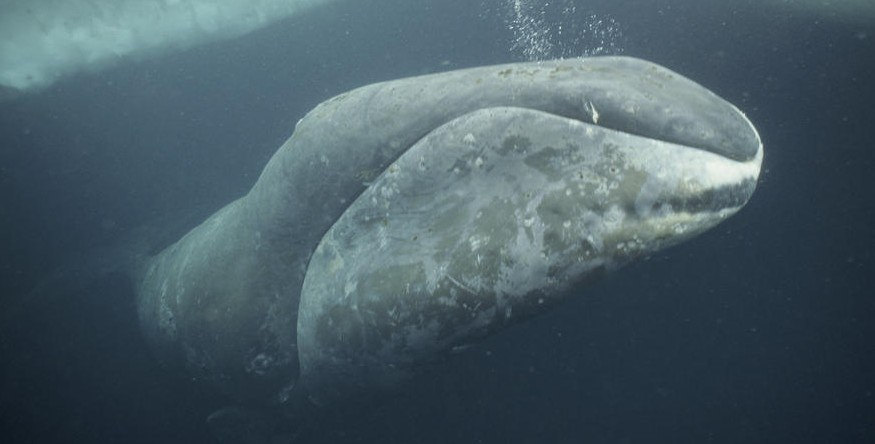 Bowhead whale, credit: Flickr/Day Donaldson