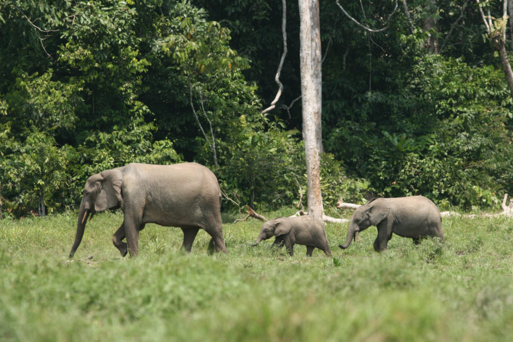 forest-elephant-family-group-in-a-rainforest-clearing-credit-richard-ruggierousfws