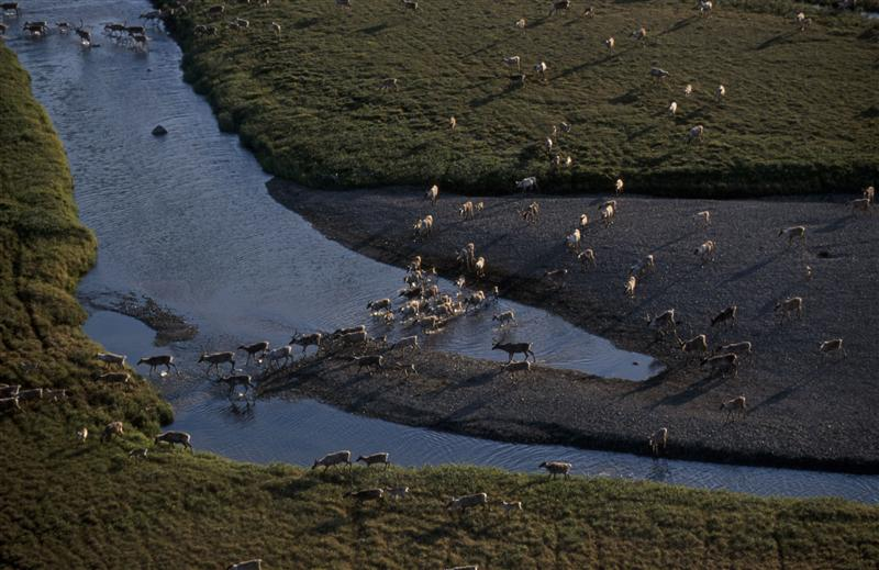 Caribou migrating to winter grounds from coastal plain, Alaska, USA