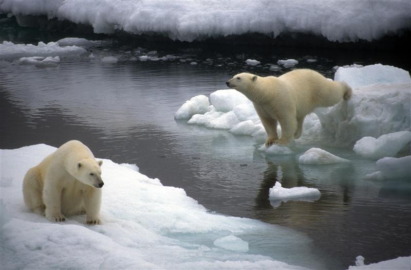 Polar bears, Chukchi sea