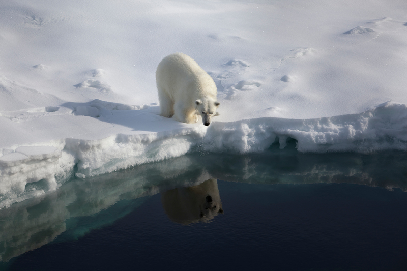 Polar bear - © Nick Cobbing / Greenpeace