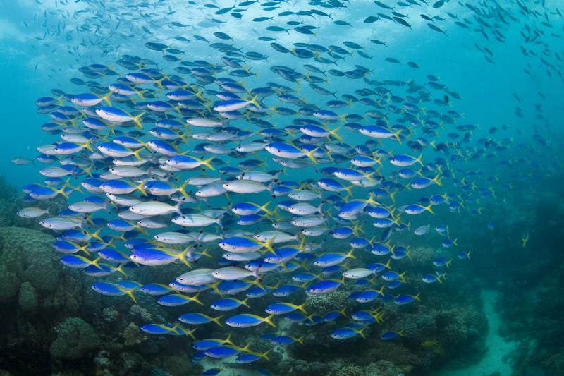 Fish in the Great Barrier Reef