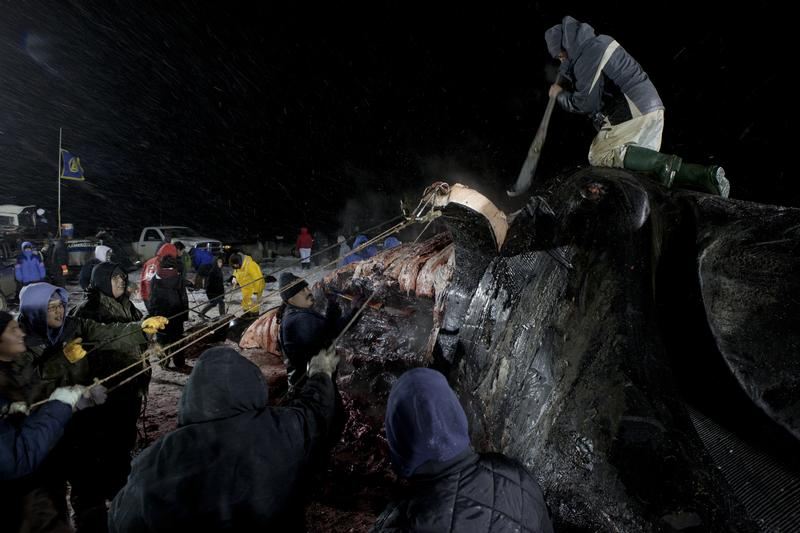 Subsistence whale hunt in Alaska