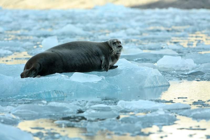 bearded seal © Larissa Beumer / Greenpeace